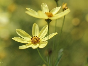 Cosmos, flakes, Yellow, Flowers