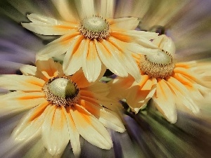 yellow, cream, gerberas