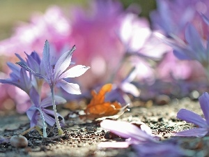 Autumn, crocuses, colchicums