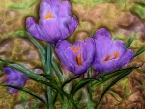 crocuses, purple