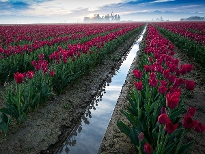 cultivation, Field, Red, Tulips