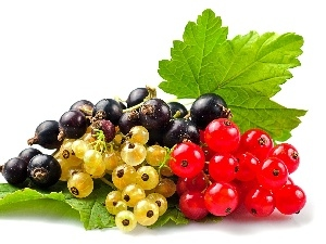 Species, currant, different