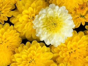 dahlias, Yellow