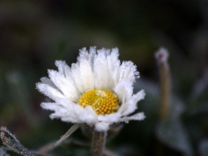 daisy, frosted