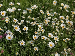 daisy, flowers, Meadow, trefoil, full