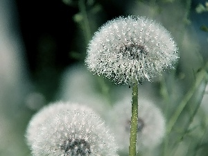 Common Dandelion, dandelions