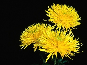 Common Dandelion, Yellow