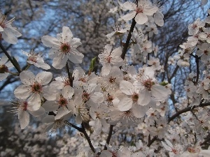 Plums, decorative, Flowers