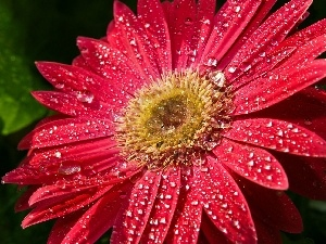 dew, drops, Gerber, Colourfull Flowers