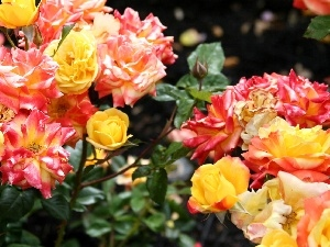 roses, Different colored
