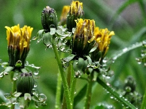 drops, rain, Common Dandelion