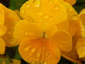 pansy, drops, Yellow