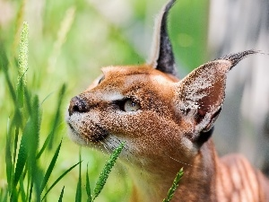 ears, Eyes, Caracal, grass