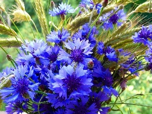 cornflowers, Ears, bouquet