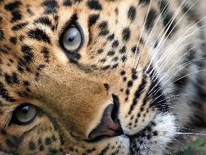 Eyes, Leopards