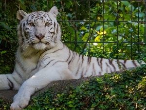 fence, Bush, White, tiger