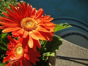 gerberas, flakes, Orange