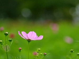 Flower, Cosmos, Pink