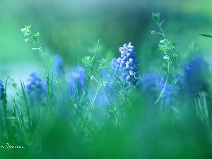Blue, Flowers, Muscari