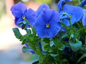 Blue, Flowers, pansies