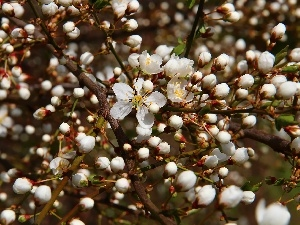 Flowers, White, trees, Buds, fruit