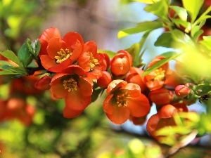 Flowers, Orange, Bush, quince