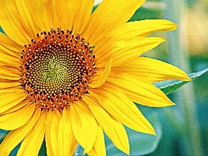 Colourfull Flowers, Sunflower