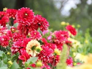 Flowers, dahlias
