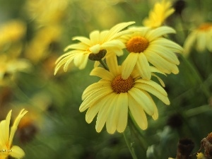 daisy, Flowers, Yellow