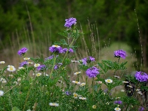 flowers, purple, Meadow, grass, camomiles