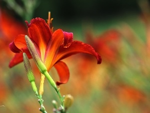 Red, Flowers, Daylilies