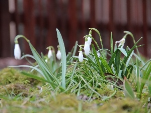 Flowers, snowdrops