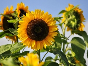 summer, Flowers, Sunflower