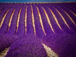 Narrow-Leaf Lavender, Field