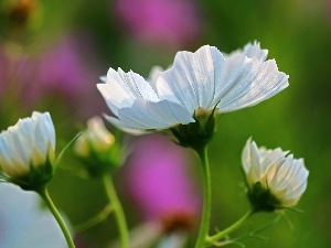 White, Flowers, Cosmos