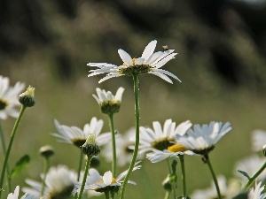White, Flowers, daisy