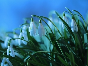 White, Flowers, snowdrops