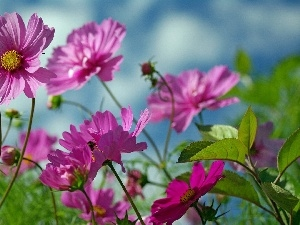Cosmos, Flowers, purple, Wildflowers