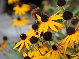 Yellow, Flowers, Rudbeckia