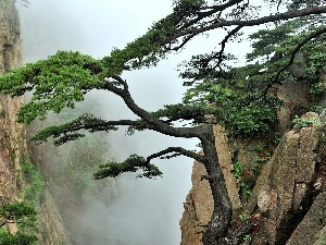 Fog, pine, Rocky, Mountains