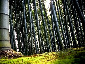 forest, bamboo