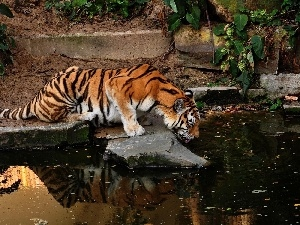 forest, rocks, tiger, watering place