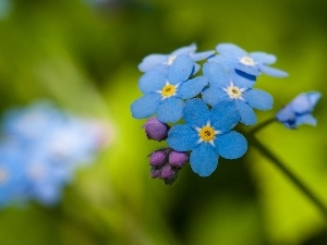 forget-me-not, Flower