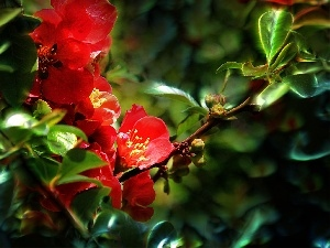 Fractalius, quinces, Red, Flowers
