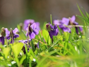grass, fragrant violets