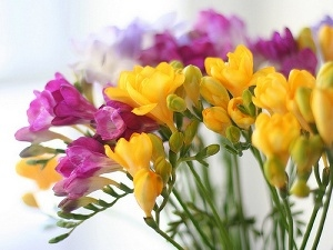 Freesias, color