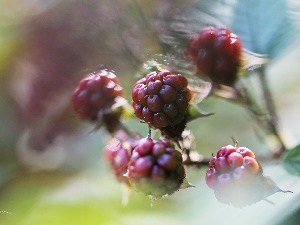 maturing, fruit, blackberry