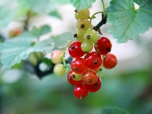 currants, Fruits, Red