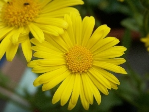 Gerber, Colourfull Flowers, Yellow, spring