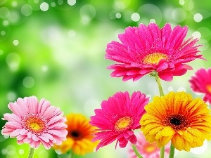 Flowers, gerberas, color